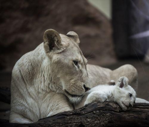 lion white lion lioness
