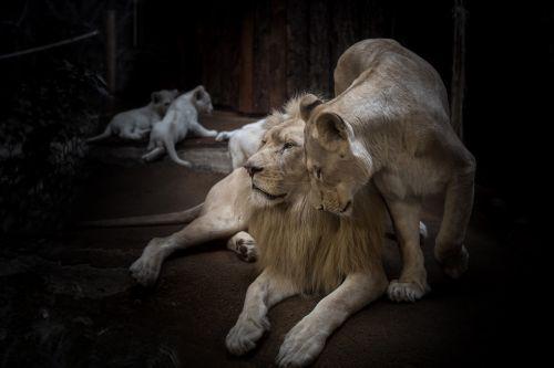 lion lioness white lion