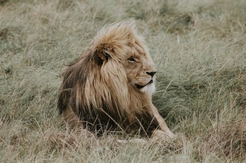 lion nala lion king