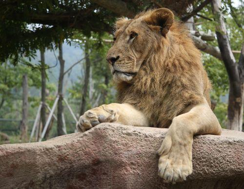 lion safari stern