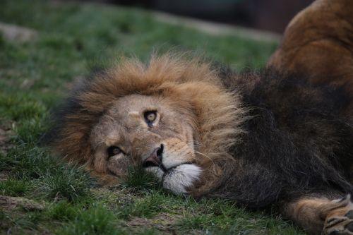 lion zoo head