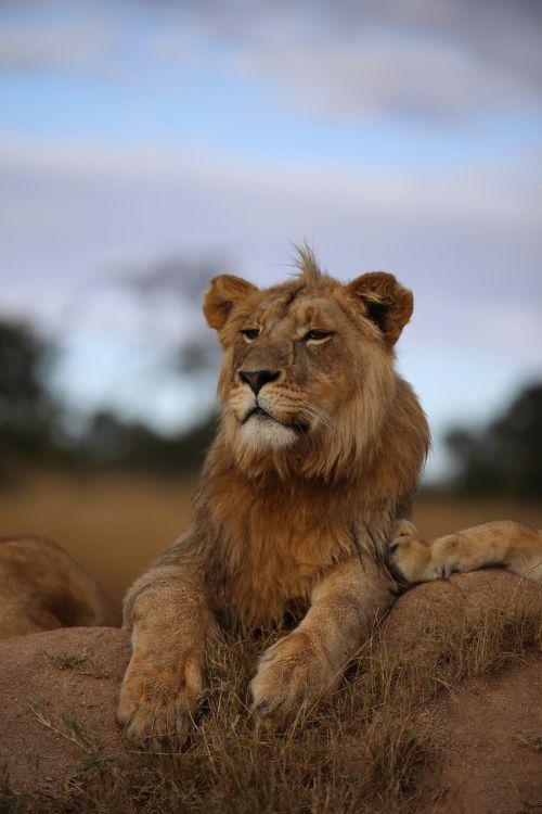 lion grassland africa