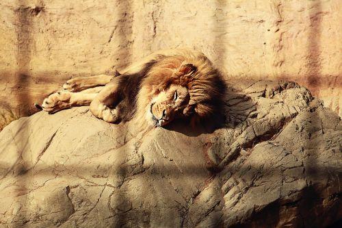 lion caged sleeping