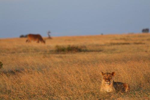 lion eland kenya