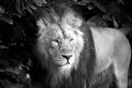 lion animal wild