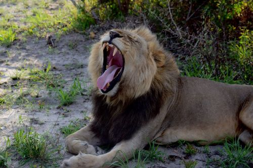 lion lion yawn sleepy lion