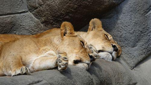 lion zoo hagenbeck zoo