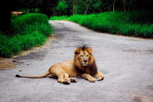 lion nature animal