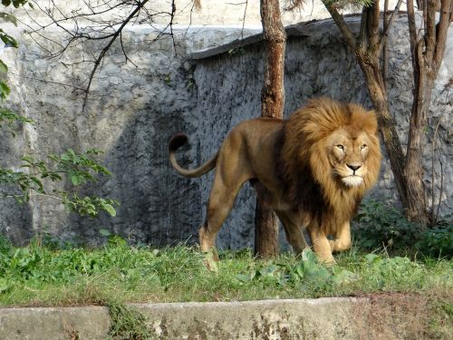 lion mammal the king of beasts