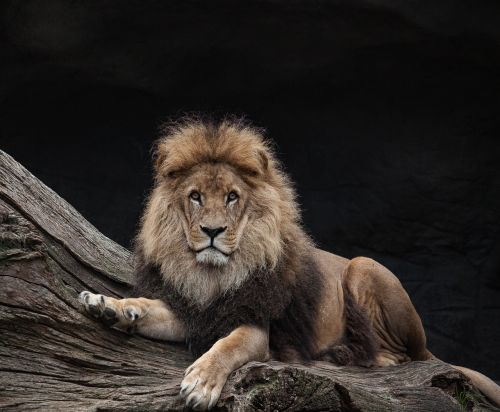 lion males king
