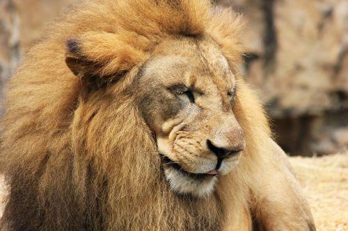lion mane cat
