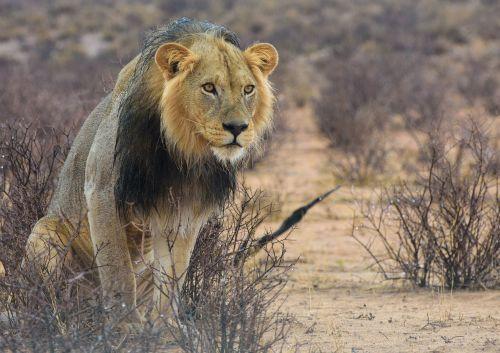 lion africa kalahari