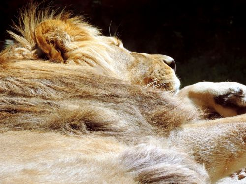 lion sleeping animal