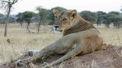 lion steppe wildlife