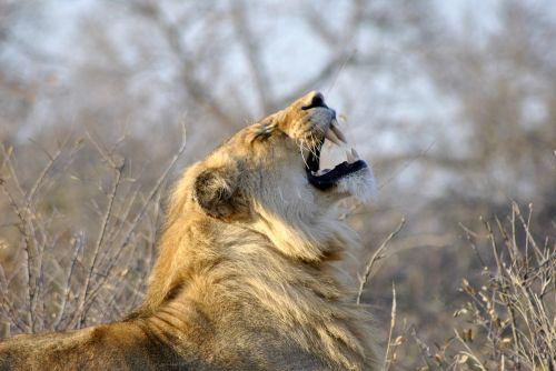 lion roar africa