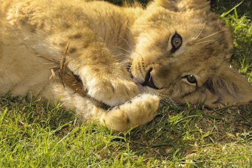 lion puppy birth