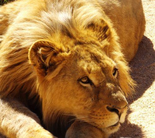 lion cat mammal