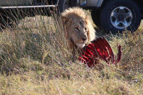 lion  kill  africa