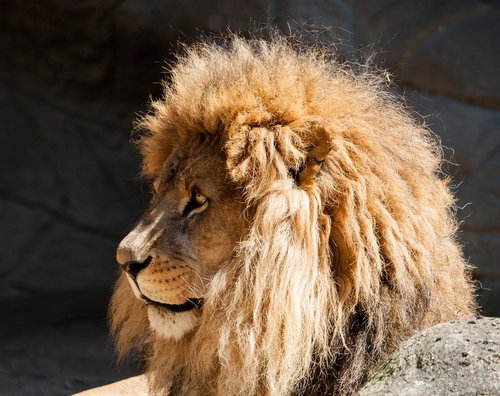 lion  male  big cat