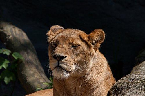 lion  lioness  predator