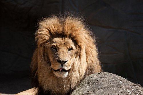 lion  predator  big cat