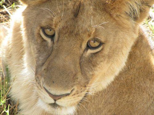 lion close up tanzania