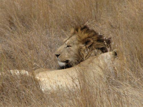 liūtas,suaugęs,melas,Suaugęs