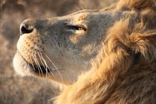 lion  africa  botswana