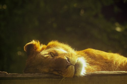 lion  sleeping  lying