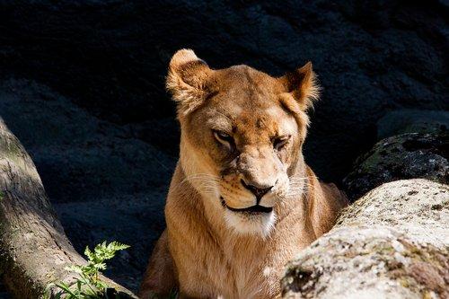lion  lioness  female