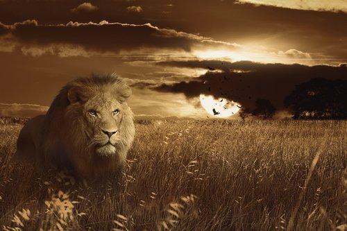 lion  animal  africa