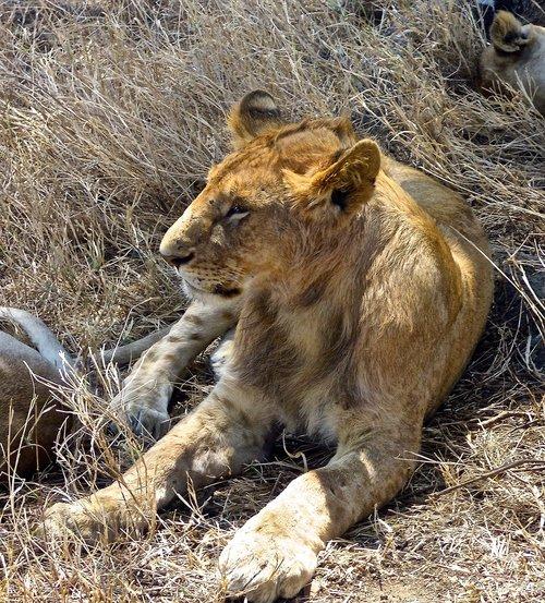 lion  safari  africa