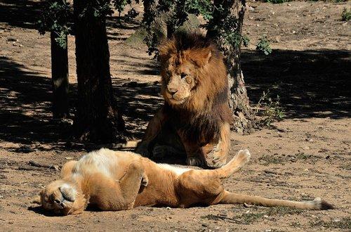 lion  lioness  carnivore
