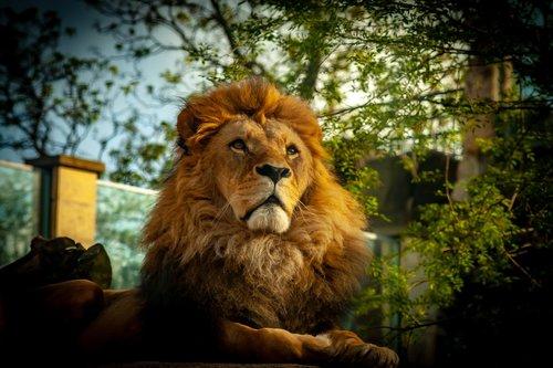 lion  animal  tusks