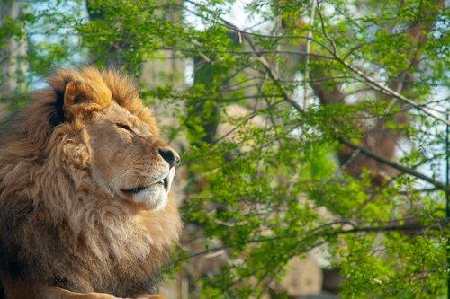 lion  animal  dresden
