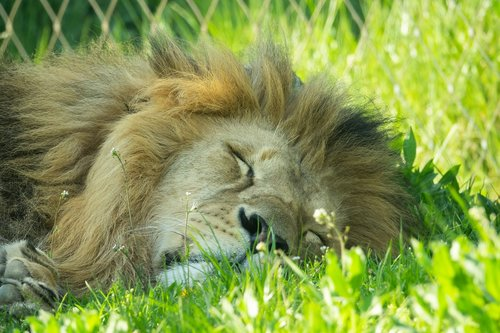 lion  sleeping  relaxed