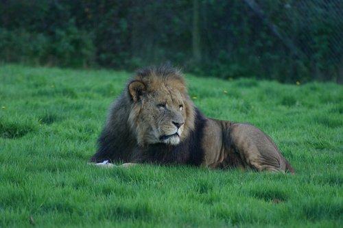 lion  cat  carnivore
