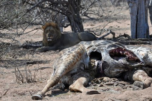 lion cadaver meal
