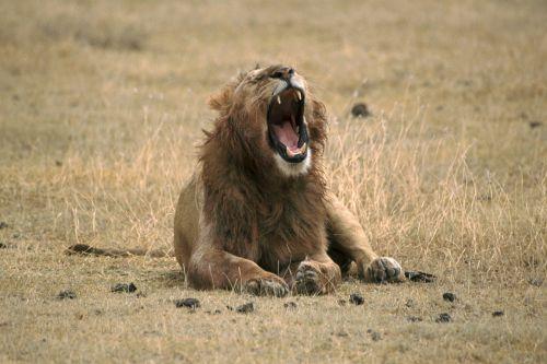 lion yawning wild animal