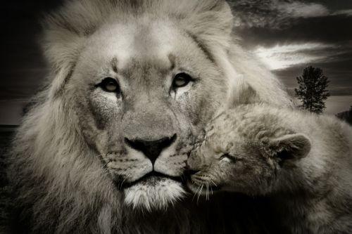 lion lion cub young animal