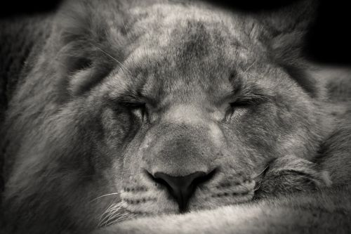 lion sleeping sweet