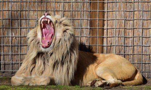 lion pride beautiful