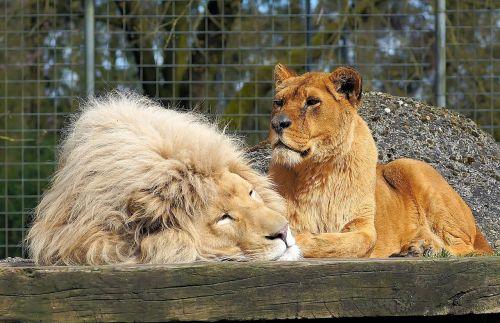 lion lioness big cats