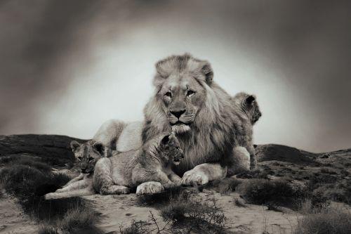 lion lion cub animal