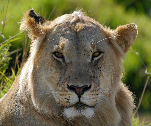 lion kenya safari
