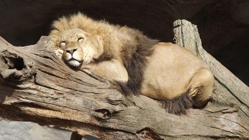 lion hagenbeck hamburg
