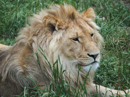 lion king rest