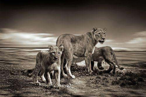 lion lions wild animal