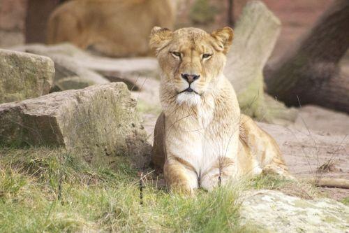 lion zoo predator