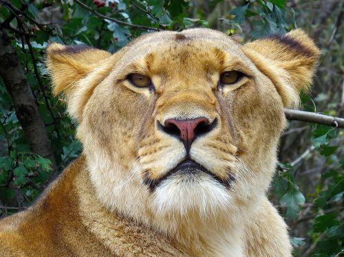 lion lioness cat